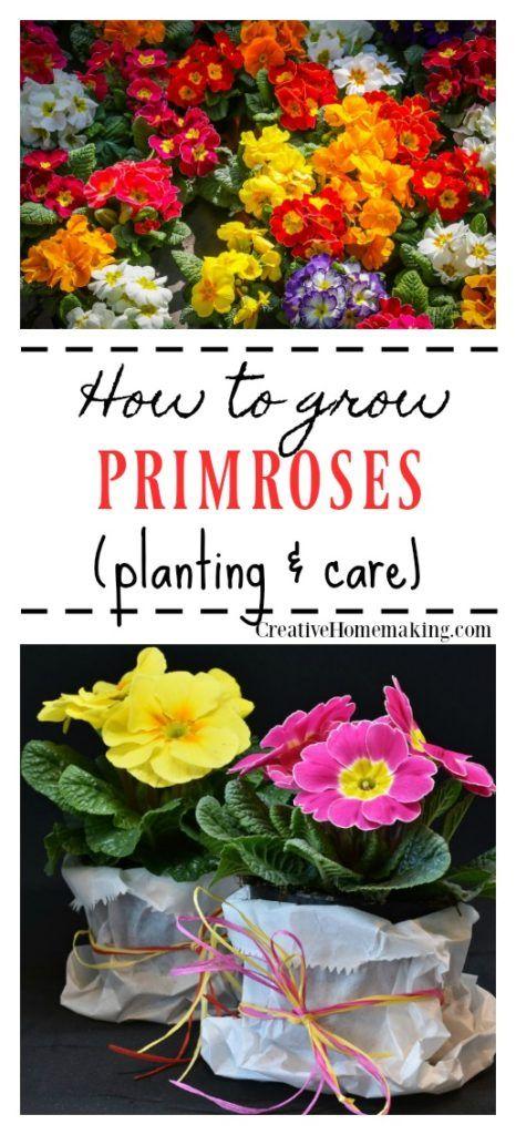 How To Grow Primroses Beautiful Flowers Garden Primrose Plant