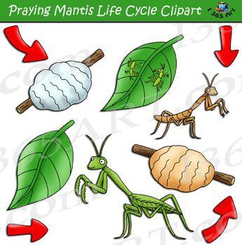 Praying Mantis Life Cycle Clipart Praying Mantis Life Cycle Life Cycles Praying Mantis