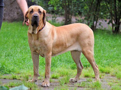 Fila Brasileiro Warning Beware Of Dog Animalsbay Dog Breeds Mastiff Dog Breeds Dangerous Dogs