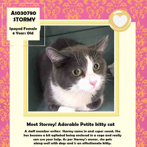 Adopted Rescued To Be Destroyed 3 29 15 Nyc Adorable Kitty Cat Must Pull Online Tonight Staten Island Center Stormy Came To Cats Cat Vs Dog Adoption