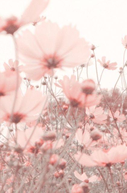 Dreamy, transparent, pale pink petals 🌸 #flowers #flora #blooms #pretty #photography