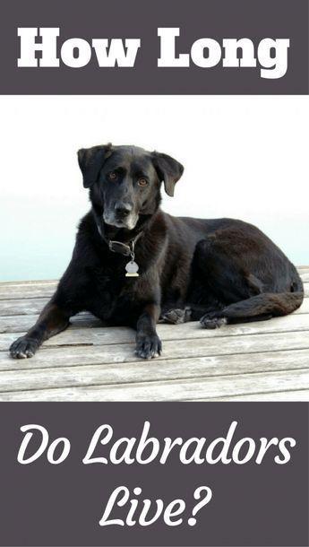 Average Labrador Lifespan