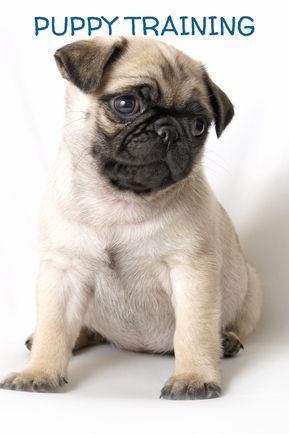 Pug Puppy Training Tips How To Train A Pug Puppy Cutepugpuppies