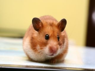 Barrett In 2020 Hamsters As Pets Hamster Syrian Hamster