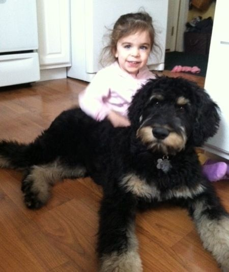 Poodle Rottweiler Mix Google Search Rottweiler Mix Designer