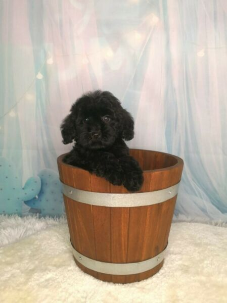 Black Miniature Labradoodle Puppy Enquire Price Labradoodle