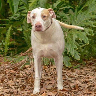 Sarasota Fl Labrador Retriever Meet Hershey A Pet For Adoption Pet Adoption Labrador Retriever Dog Pounds