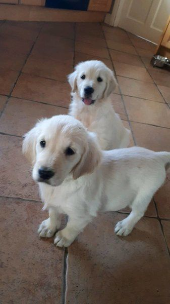 Golden Retriever Pups For Sale In Offaly On Dogs For Sale Dogs