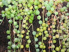 Starzec Rowleya Wikipedia Wolna Encyklopedia Plants For Hanging Baskets Succulents Easy To Grow Houseplants
