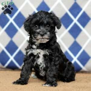 Mini Schnoodle Puppies For Sale Schnoodle Puppy Mini Schnoodle Schnoodle