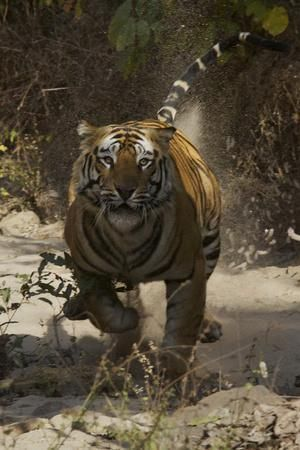 India Rajasthan Ranthambhore A Female Bengal Tiger Photographic Print Nigel Pavitt Art Com In 2020 Animals Big Cats Tiger