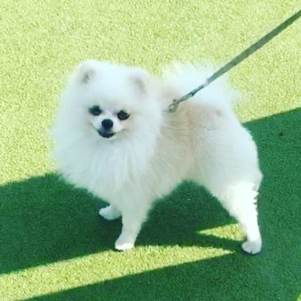 Pomeranian Pom Pomsky Pomskies Pomeriaan Pomerian Love Dog