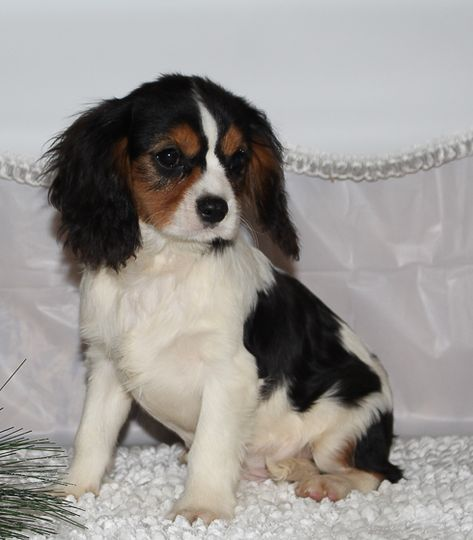 Cabot A Male Akc Cavalier King Charles Spaniel Puppy For Sale In Spencerville In Vip P Cavalier King Charles Spaniel King Charles Dog King Charles Spaniel
