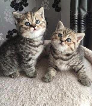 Gccf Tica Champion Sired Scottish Fold Kittens Kitten Adoption Cats And Kittens Scottish Fold Kittens