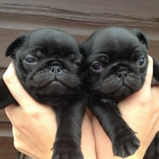 3 Black Pug Puppies For Sale Kings Lynn Norfolk