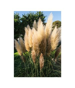 Graser Pflegeleicht Und Winterhart Fur Den Garten Dehner Pampasgras Gras Graser Pflanzen
