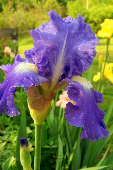 GNU BLUE Iris