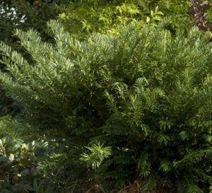 Yewtopia Plum Yew Yew Shrub Shrubs Year Round Colors
