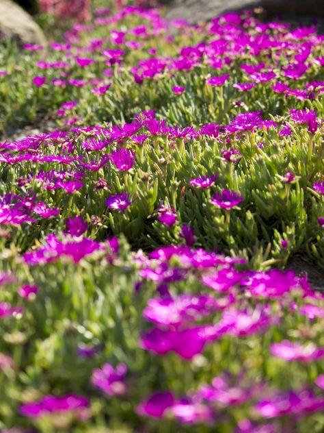 Plante Grasse Et Couvre Sol La Delosperma Cooperi Est Facile A