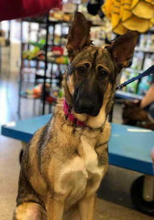 Adopt Elly May On German Shepherd Dogs Dog Search Shepherd Dog