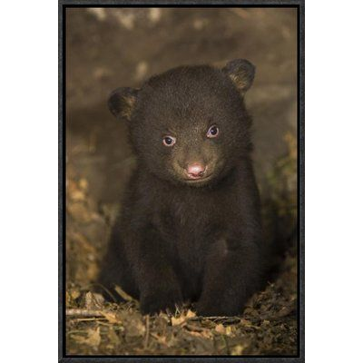 """East Urban Home 'Black Bear 7 Week Old Cub' Framed Photographic Print on Canvas Size: 18"""" H x 12"""" W x 1.5"""" D"""