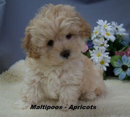 Adorable Teddybear Maltipoo Puppies Dogs Puppies For
