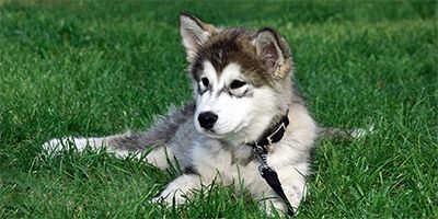 Cute Siberian Husky Mix In 2020 With Images Siberian Husky Mix