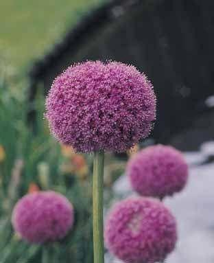 Amazing Unusual Plants To Grow In Your Garden Allium Flowers Garlic Flower Unusual Plants