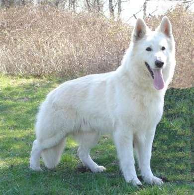 Va Einstein Tyson Vom Sutumer Grund Dogs German Shepherd Dogs Beautiful Dogs