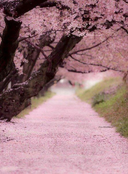 Past The Cold Winter Until The Spring Day Comes Beautiful Nature Scenery Sakura Tree