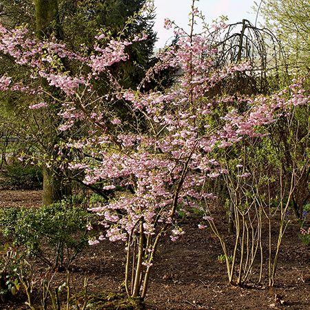 7ft Prunus Accolade Cherry Blossom Tree Half Standard 18l Pot 175 99 Blossom Trees Deciduous Trees Cherry Blossom Tree