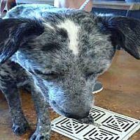 Austin Tx Australian Cattle Dog Meet Reagan A Dog For Adoption Cattle Dogs Mix Australian Cattle Dog Mix Pets