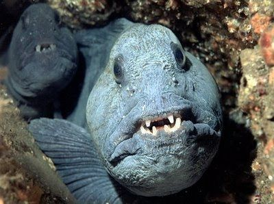 North Atlantic Wolffish Deep Sea Creatures Ocean Creatures Fish