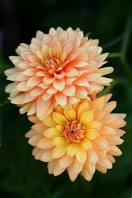 Pin By Trisha Huffhines On Dahlia Beautiful Flowers Dahlia Flower Amazing Flowers