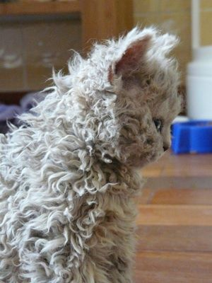 Selkirk Rex: curly haired cat omgit looks like ZoE but in cat form.
