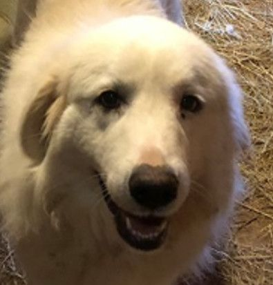 Adopt Bristol On In 2020 Great Pyrenees Dog Great Pyrenees