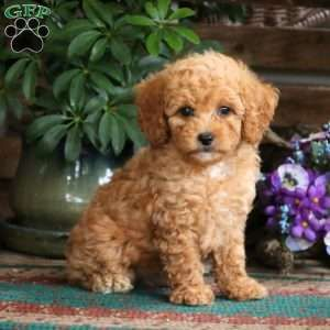 Cocoa Miniature Poodle Puppy For Sale In Pennsylvania Poodle