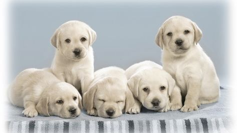 Labrador Retriever Dog Price Buy Kci Registered Labrador Retriever Puppies For Sale In India Get H Cute Dogs Images Labrador Retriever Dog Labrador Retriever