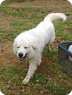 5 3 16 Kyle Tx Great Pyrenees Mix Meet Kidd Lgd A Dog For