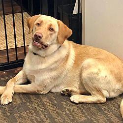 Dallas Tx Labrador Retriever Meet Odie A Pet For Adoption In 2020 Labrador Retriever Labrador Retriever