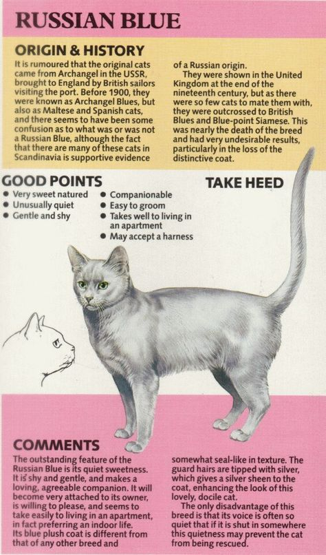15 Super Ideas For Cats Russian Blue Sweets Russian Blue Cat