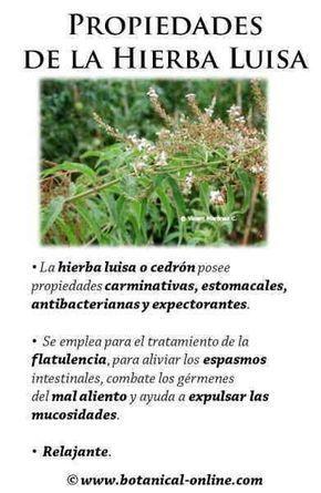 Propiedades Del Cedron O Hierba Luisa Http Www Botanical Online Com Medicinalsmarialuisacastella Htm Remedi Natural Juices Natural Medicine Medicinal Plants