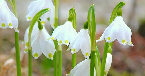 Der Märzenbecher und die Sommer-Knotenblume sind elegante und äußerst unkomplizierte Zwiebelblumen. Wer sich die schönen Pflanzen in den Garten holen möchte, muss im Herbst die Blumenzwiebeln setzen. Ein Pflanzenporträt mit Pflanz- und Pflegetipps.