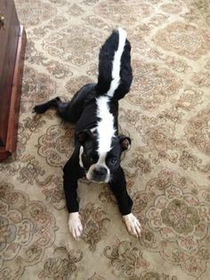 spider costume for small dog - Google Search | AWESOMENESS | Pinterest | Spider costume Spider and Costumes & spider costume for small dog - Google Search | AWESOMENESS ...