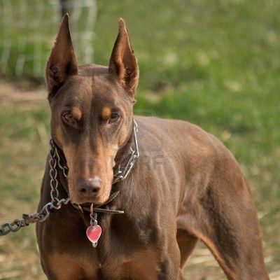Doberman Black And White Add Photos Red And Rust Doberman