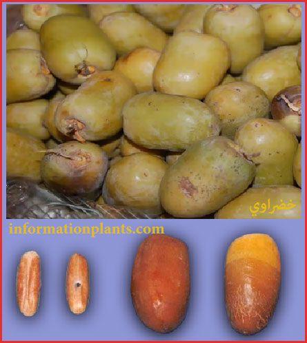 تمر الخضراوي العراقي قسم التمور مع الصور قسم التمور انواع الاسماك مع الصور معلوماتية نبات حيوان اسماك فوائد Vegetables Food Potatoes