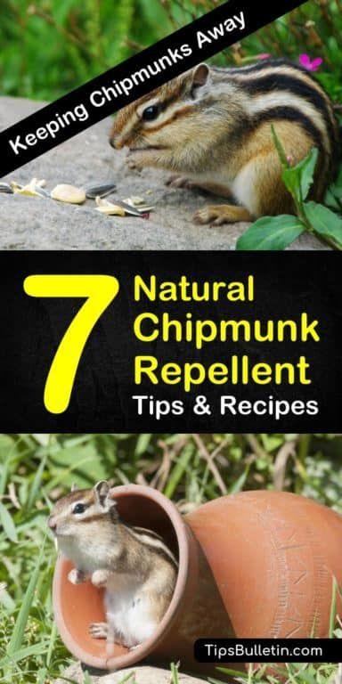 7 Smart Safe Chipmunk Repellents Chipmunk Repellent Get Rid Of Chipmunks Garden Pests