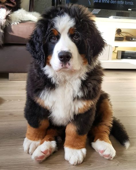 bernese mountain dog Bernese Mountain Dog on - dog Cute Dogs And Puppies, I Love Dogs, Doggies, Burmese Mountain Dogs, Bernese Mountain Puppy, Entlebucher, Cute Creatures, Dog Care, Cute Baby Animals