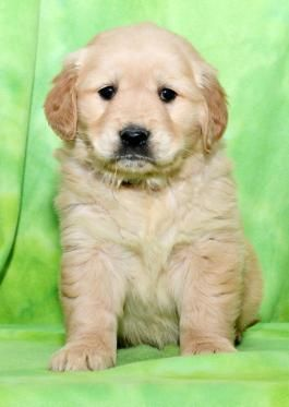 Goldenretriever Goldenretrieverpuppy Goldenretrieverpuppies