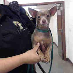 Phoenix Arizona Chihuahua Meet Upsy Daisy A For Adoption